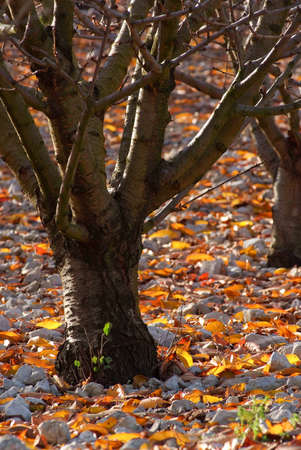 cherrytree: field of cherry-tree in fall Stock Photo