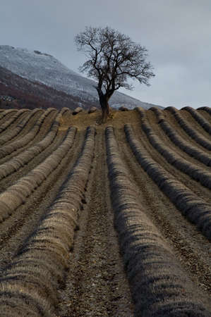 localization: tree lone field of lavenders in winters Stock Photo