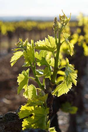 rebirth: rebirth of the grapevine Stock Photo