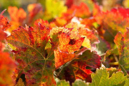 leaf of grapevine color fall Stock Photo - 5874568