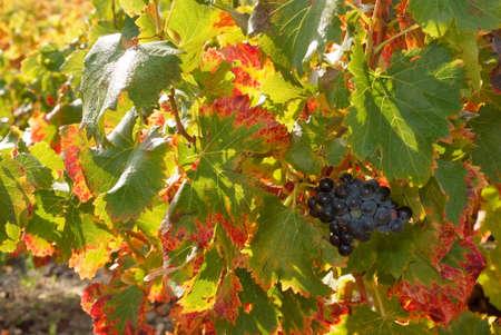 leaf of grapevine color fall