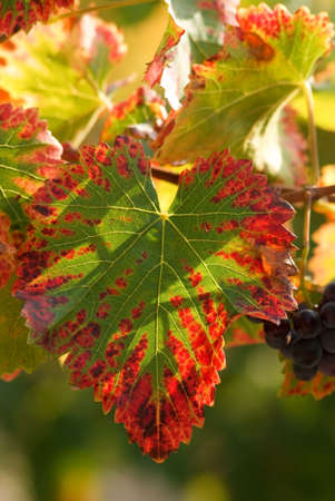 leaf of grapevine color fall photo