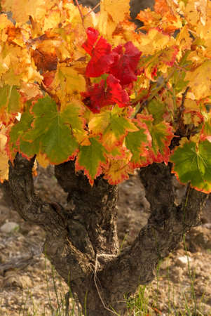 leaf of grapevine color fall Stock Photo - 5874570