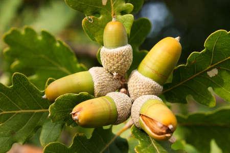 acorn fruit of the oak Stock Photo