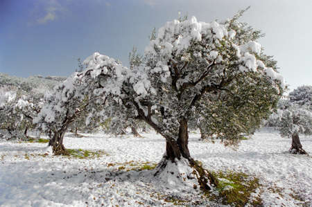 country field olive tree under snow
