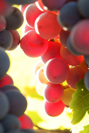 cluster of grape to maturity - before wine-harvest Stock Photo