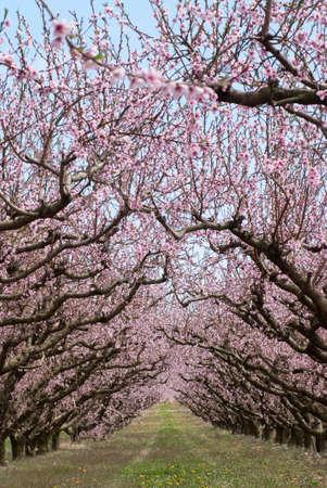 vernal: vernal flowers of peachtrees