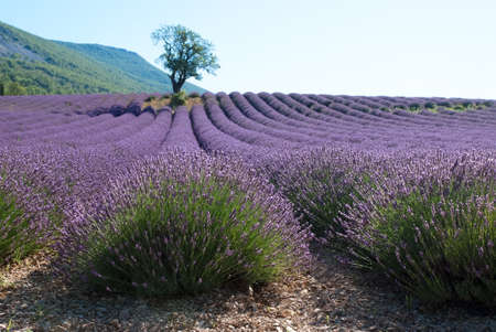 lone almond-tree in field of lavender