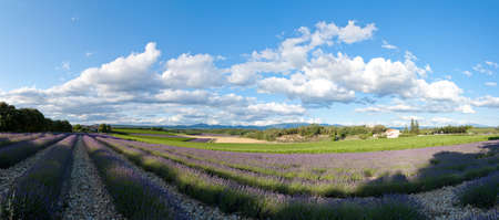 panorama field of lavender - Provence Stock Photo - 11769149