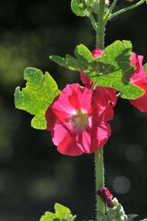 alcea: Alcea rosea - rosa traimire