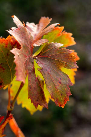 feuile of grapevines in fall Stock Photo - 11769137