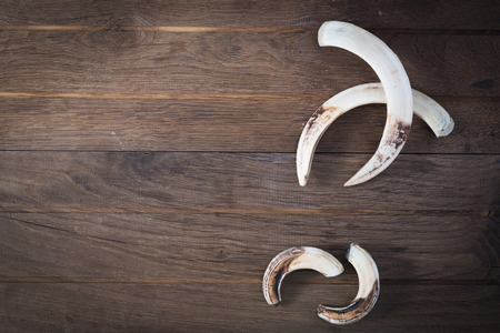 fang: Boar tusks - big and small - on wooden background Stock Photo
