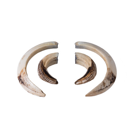 tusks: Boar tusks - big and small - isolated on white Stock Photo