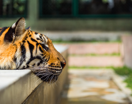 tigress: Closeup on indochinese tiger relaxing in pool Stock Photo
