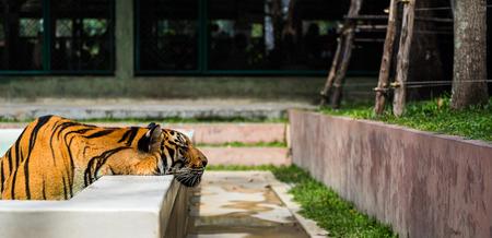 tigresa: Tigre indochino putt cabeza en el lado de la piscina