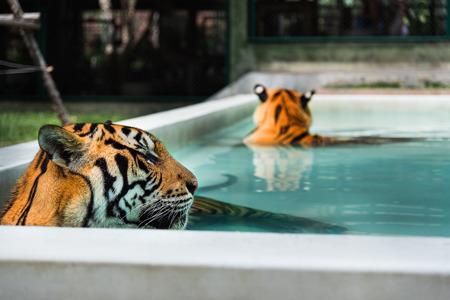 tigresa: Pareja de tigres indochinos se relaja en la piscina