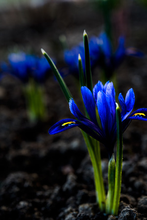 reticulata iris: Iris at night, one flower on foreground and couple on background, low key