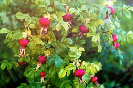 briar bush: Bush of rose hip with bright ripe berries, toned
