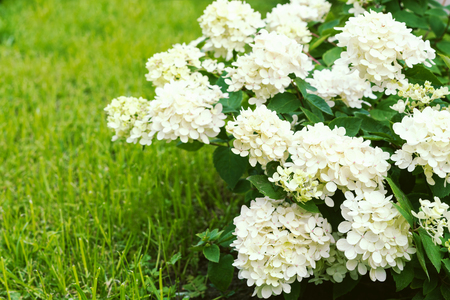 Bush with white hydrangea flowers and green lawn
