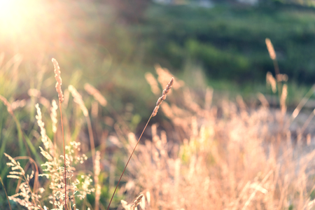 to field: Wild field of grass on sunset, soft sun rays, warm toning, lens flares, shallow DOF Stock Photo