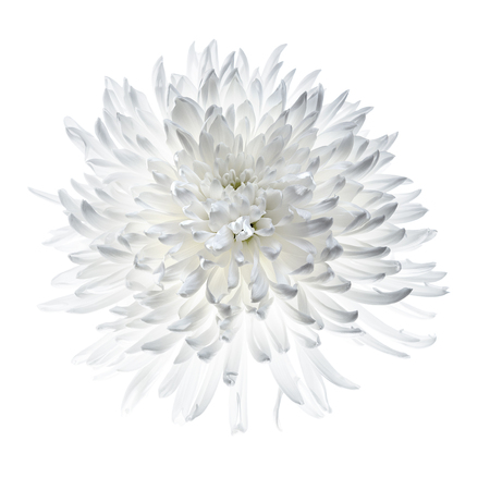 White chrysanthemum isolated on white, backlight make petals glow