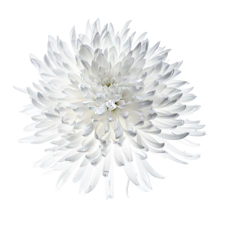 White chrysanthemum isolated on white, backlight make petals glow