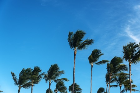 Palms tops with the sky behind on windy day Stock Photo