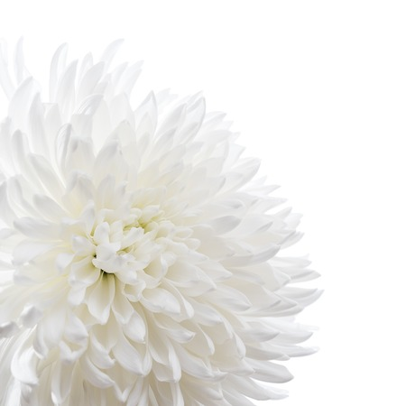 White chrysanthemum isolated on white Archivio Fotografico