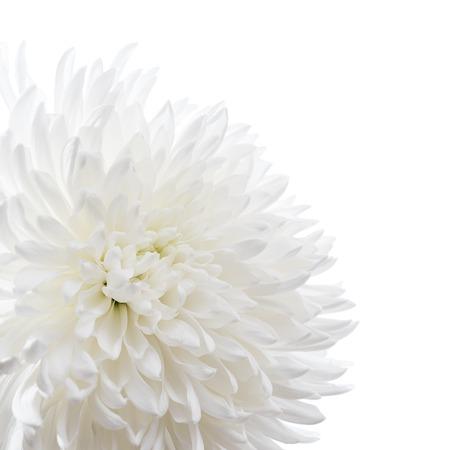 Witte chrysant geïsoleerd op wit Stockfoto