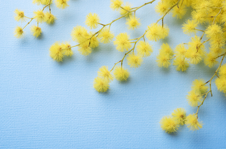 Fresh mimosa flower on blue paper background closeup Imagens