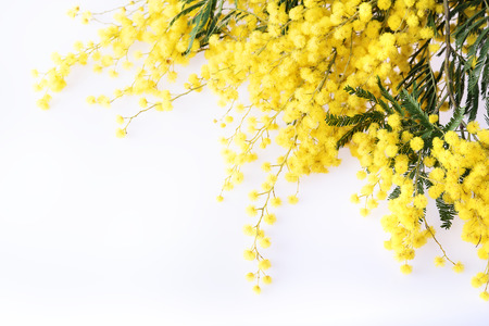 Fresh mimosa flower at the corner on white background