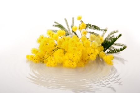 ripple effect: Fresh mimosa flower on white with effect of water ripple under Stock Photo