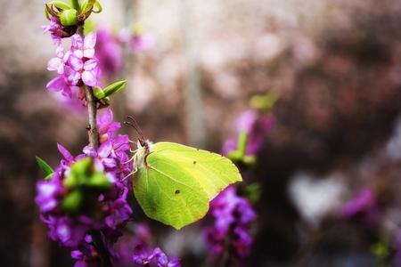Bright butterfly Gonepteryx rhamni on purple flower