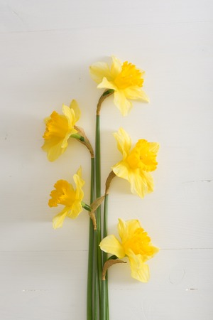 Narcissus on white wooden table, bright day