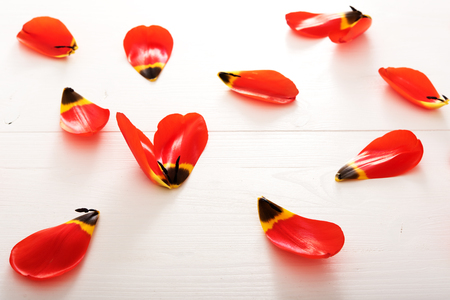 Closeup on petals of red tulip on white wooden table