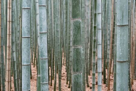 Wall of bamboo, bamboo forest, Kyoto, Japan Standard-Bild