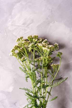 Bundle of fresh medicinal yarrow on the table, daylight