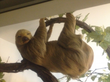otganimalpets01: Lazy sloth hanging in a tree