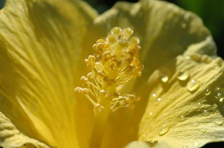Gele Hibiscus na de regen. Stockfoto