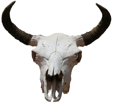Southwest Icon - Isolated Cow Skull