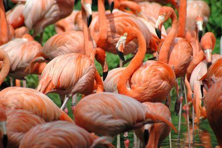 Flamingos Фото со стока
