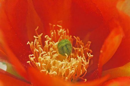 Oranje Cactus Stockfoto