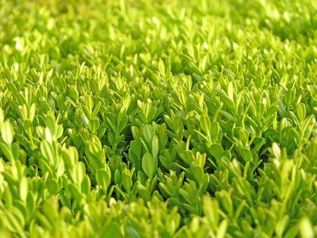 Hedge Closeup Stockfoto