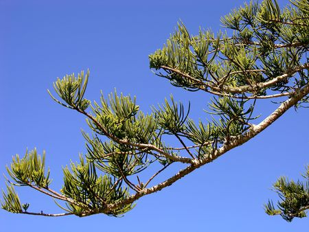 Norfolk Pine Branch Stockfoto
