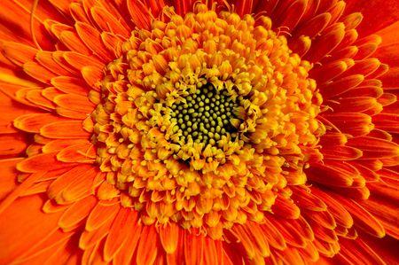 Bright lively orange gerber daisy.