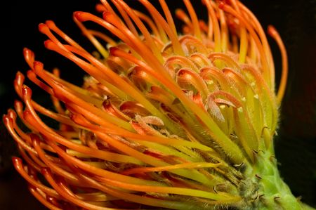 protea flower: Side view of a protea flower.