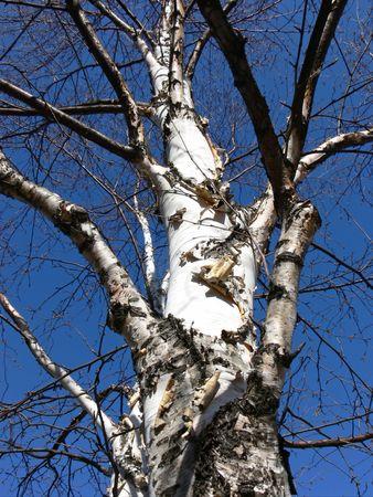バーチの木明るい春の朝に探して罰金。