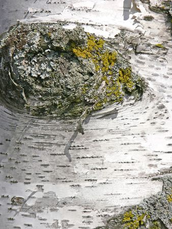 Knot in the trunk of a birch tree.