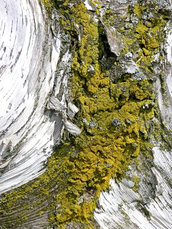 Moss on the trunk of a birch tree. Stock Photo - 497073