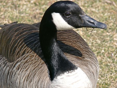 canada goose: Canada Goose, having lunch.
